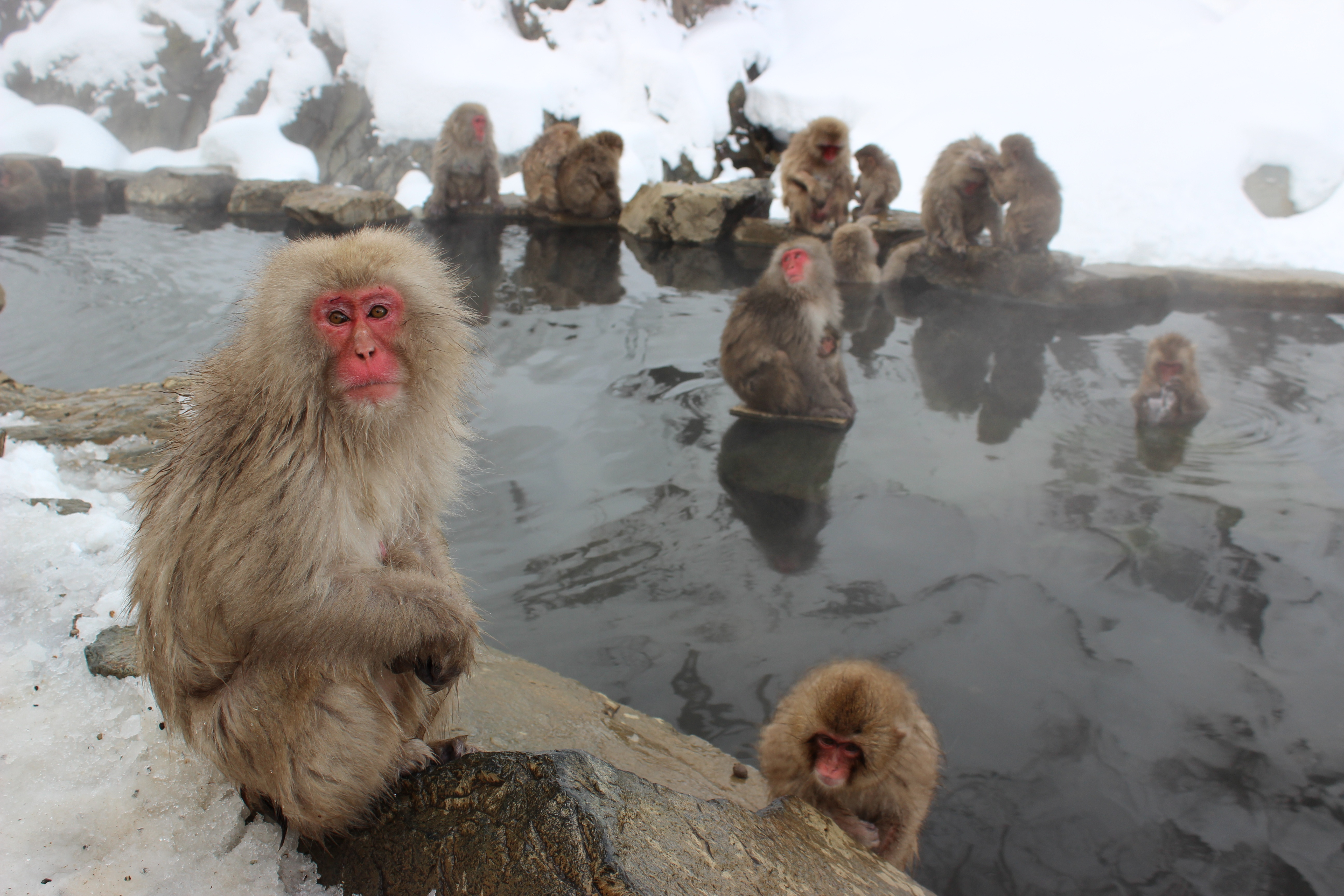 温泉につかるサルたち